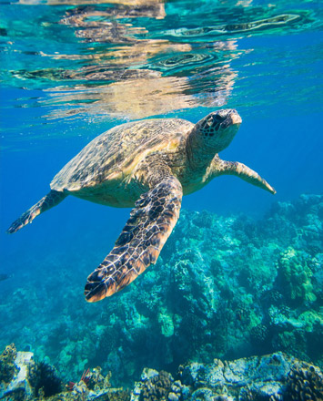 kayaking-island-images-maui-sea-turtle-355x440.jpg