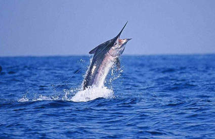 SportFishing - Marlin425x275.JPG
