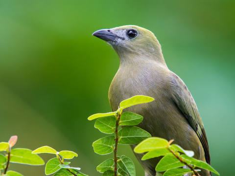 palm_tanager-5013-480x360.jpg
