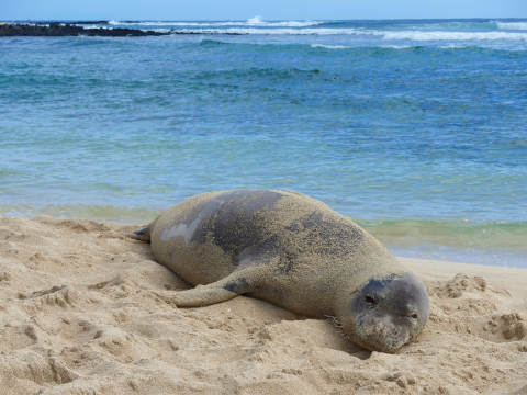 poipu-beach-seal-480.jpg