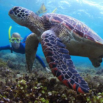 snorkel-molokini-turtle-360X360.jpg